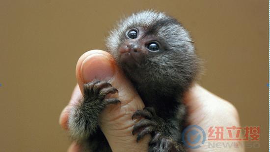 来小院动物园看世界上最小的小猴子